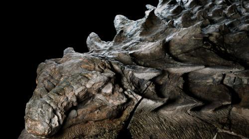 Un fósil de dinosaurio al que se le ve la cara fue hallado en Canadá