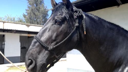 Los ocho caballos del crimen organizado aún esperan comprador
