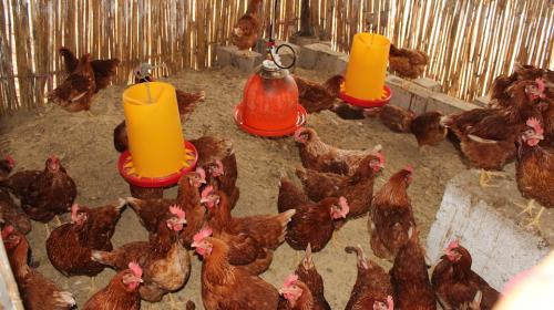 Salcajá invertirá Q46,753 en 600 gallinas ponedoras