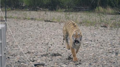 """Vladik, el """"tigre asesino"""", causa pánico en una ciudad de Rusia"""