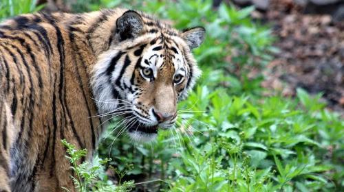 La dramática fotografía de un tigre a punto de devorar a su cuidadora