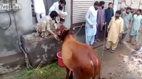 Hombre intentó sacrificar a una vaca y resultó pisoteado por el animal