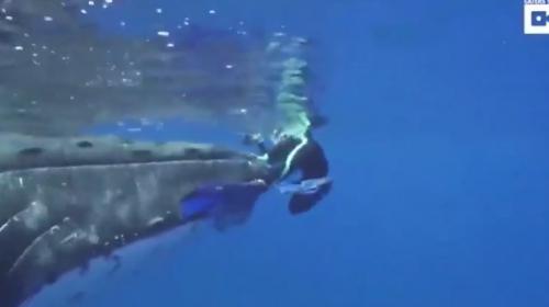 Bióloga graba a una ballena que la protege del ataque de un tiburón