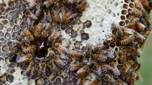 Arrestan a dos niños por matar de medio millón de abejas en EE.UU.