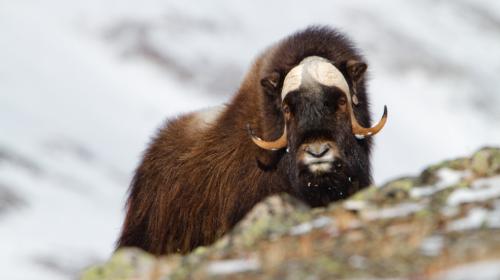 """Un """"tsunami de hielo"""" sepultó una manada de bueyes en Alaska"""