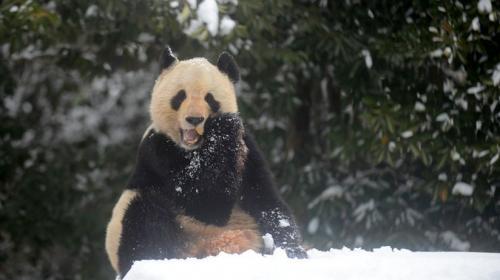 ¡Divinos! osos panda gozan con la nieve que llegó a China