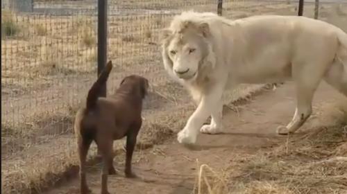 """El insólito video de un león que """"besa"""" la pata de un perro"""