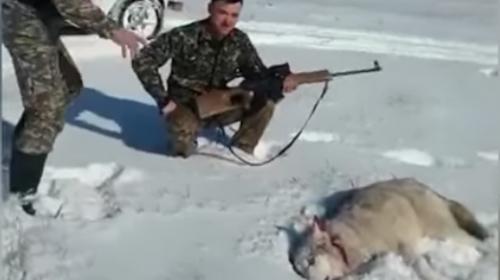 """Graban cuando un lobo """"resucita"""" para vengarse de su cazador"""