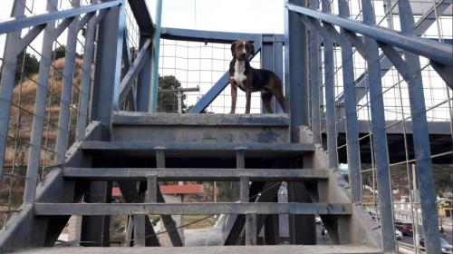 La lección de dos perros que usan una pasarela de la ruta al Pacífico