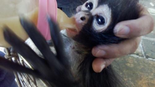 La historia del mono araña rescatado por los bomberos