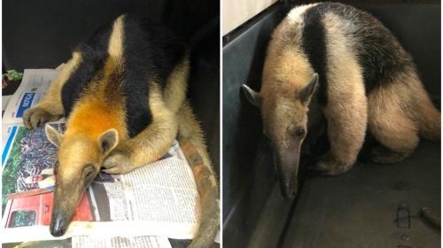 ¿Qué pasará con los osos hormigueros rescatados en San Marcos?