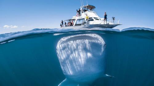 La sorprendente fotografía de un tiburón ballena cerca de un barco