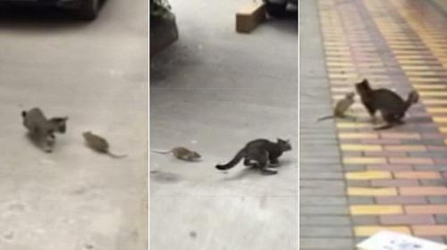 La persecución de una rata que hizo sufrir a un gato
