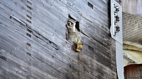 Un mapache se salva de morir en un incendio provocado