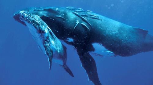 Grandes grupos de ballenas jorobadas preocupan a los científicos