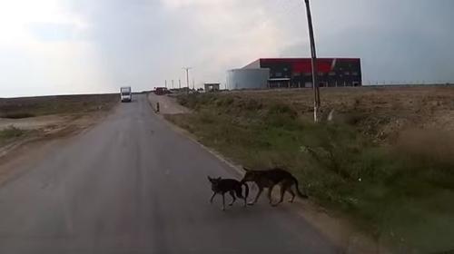 Un perro arriesga su vida y salva a otro de morir atropellado