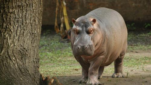 Murió Gustavito, el hipopótamo guatemalteco atacado en El Salvador
