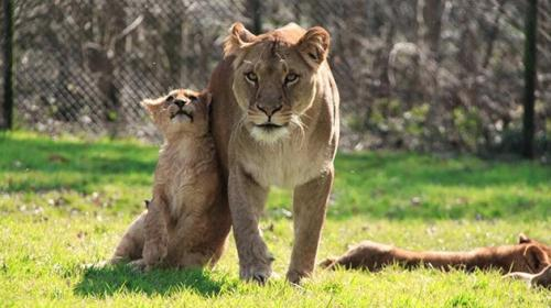 Zoo danés que mató a la jirafa Marius ahora sacrifica a cuatro leones