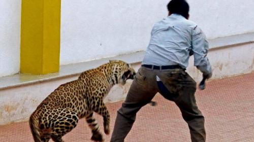 Leopardo invade una escuela y deja seis personas heridas