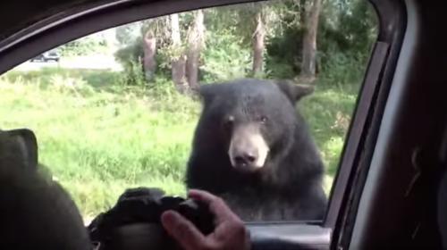 El video de un oso se hace viral por abrir la puerta de un carro
