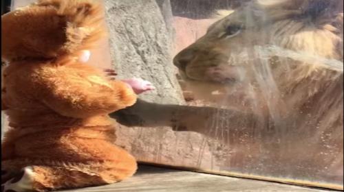 La tierna reacción de un león al ver a un niño vestido de cachorro
