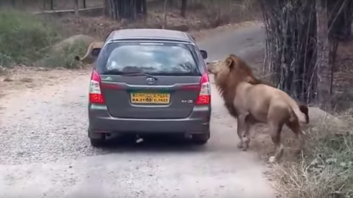 Una familia vive momentos de tensión cuando un león ataca su automóvil