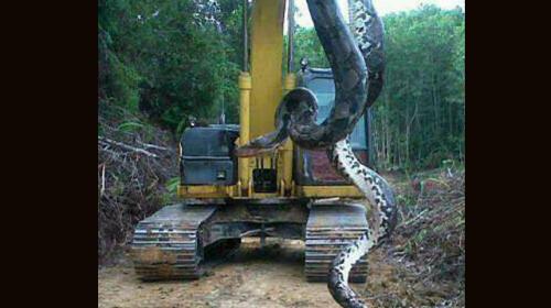 Se hace viral imagen de una enorme serpiente encontrada en...¿Izabal?