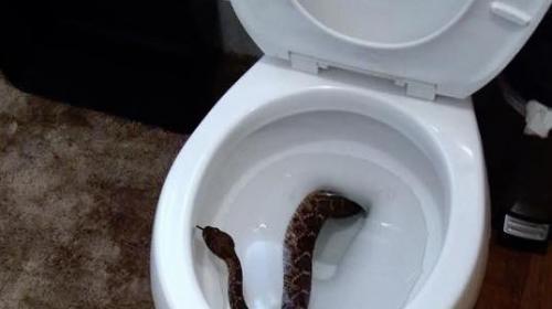 ¡Escalofriante! Niño encontró una serpiente en el inodoro