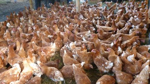 Gallinas de huevos de oro: alcalde gasta aporte constitucional en aves
