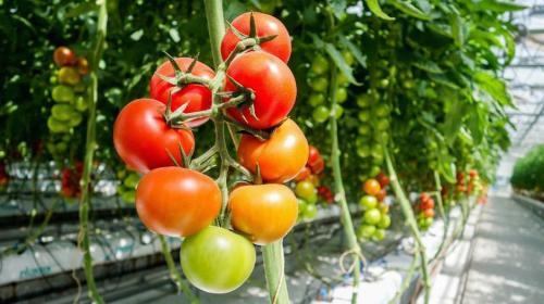 ¿Por qué los tomates no saben igual? Esto es lo que están investigando