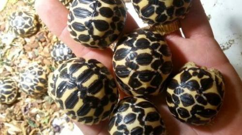 Incautan en Madagascar 771 crías de tortuga en peligro de extinción