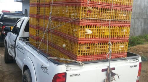Decomisan 470 gallinas que podrían ser de contrabando