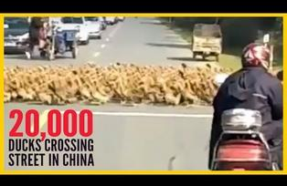 20000 ducks cross road in china (All traffic stops for them) - viral video