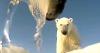Las dolorosas imágenes de un oso polar a punto de morir